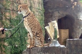 Cheetah predicts Nascar winner